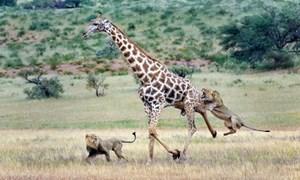 Kinh hoàng hai con sư tử đói hạ gục hươu cao cổ ở Nam Phi