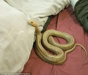 Kinh hoàng rắn độc nằm ngủ trên giường