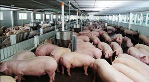Tích cực tái đàn để kéo giảm giá thịt lợn