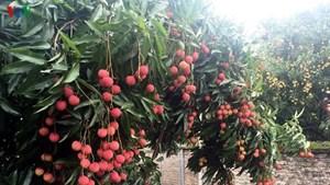 Chuẩn bị tốt điều kiện để xuất khẩu quả vải sang Nhật Bản