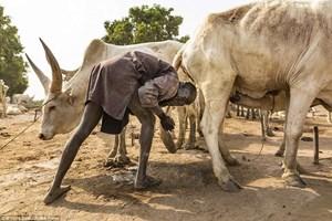 Kỳ lạ bộ tộc gội đầu bằng nước tiểu bò, dùng phân làm thuốc