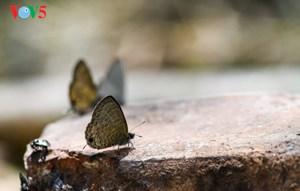 [ẢNH] Lạc bước trước 'khung cảnh thần tiên' của rừng Cúc Phương mùa bướm