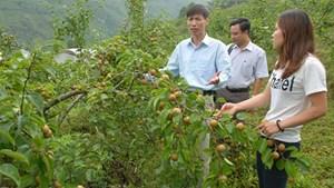Lai Châu:Giảm hộ nghèo nhờ phát triển cây ăn quả ôn đới