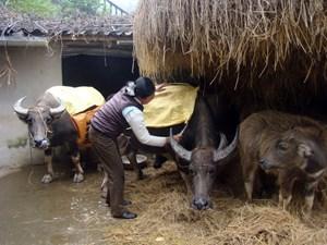 Lạng Sơn: Phòng chống dịch bệnh cho gia súc, gia cầm