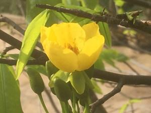 Lễ hội hoa Anh đào - Mai vàng Yên Tử 2018