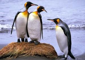 Loài chim cánh cụt chúa đứng trước nguy cơ bị tuyệt chủng