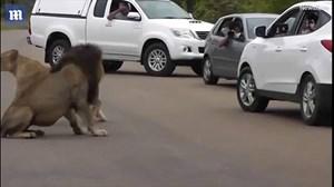 Mở cửa ô tô trước mặt sư tử để chụp ảnh
