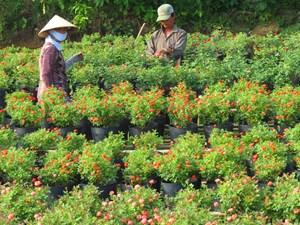 Nông dân lao đao vì hoa Tết nở sớm