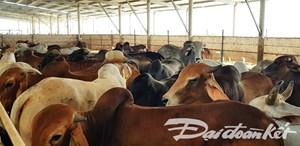 Phạt 70 triệu đồng và tạm dừng hoạt động trang trại bò gây ô nhiễm