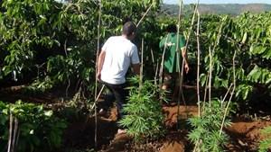 Đắk Lắk: Phát hiện một hộ dân trồng cây cần sa trái phép giữa rẫy cà phê