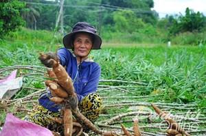Quảng Ngãi: Nông dân phấn khởi vì sắn được mùa, được giá