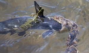 Rắn ngoác miệng nuốt chửng cá trê