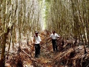 Rừng tràm U Minh Hạ trước nguy cơ cháy