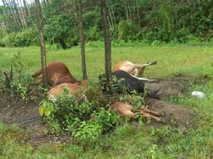 Sét đánh chết cả đàn bò của một gia đình thả trên cánh đồng