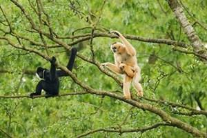 Sơn Trà - Đà Nẵng: Có khả năng một loài vượn đã bị tuyệt chủng