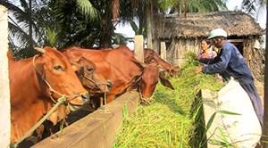 Tăng thu nhập từ chăn nuôi bò