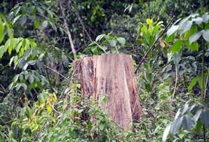 Gia Lai: Điều tra vụ khai thác gỗ trái pháp luật
