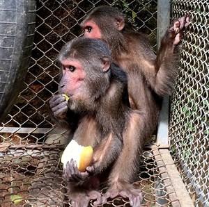 Thả 2 cá thể khỉ mặt đỏ về tự nhiên