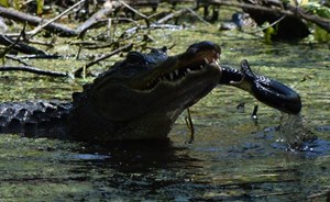 Thấy rắn 'khủng' đến gần con, cá sấu mẹ tung đòn hủy diệt