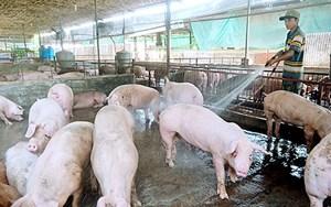 Điện Biên: Nguy cơ tái phát dịch tả lợn châu Phi rất cao