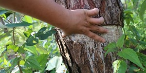 Đắk Nông: Yêu cầu Chủ tịch tỉnh báo cáo về việc rừng thông phòng hộ bị đầu độc