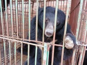 Thúc đẩy chấm dứt việc nuôi nhốt gấu