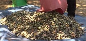 Cảnh giác thủ đoạn ép giá thu mua hạt điều tươi