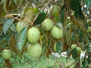 Tiềm năng trái cây Việt