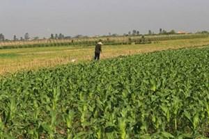 Tiên Lữ - Hưng Yên: Hỗ trợ phát triển cây vụ Đông