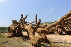 Trả lại cây đa sộp thứ 3bị bắt giữ ở Thừa Thiên - Huếcho chủ sở hữu