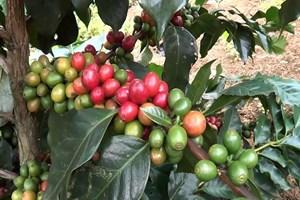 Tăng thu nhập từ cây cà phê