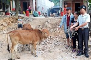 Quảng Bình: Trao tặng 10 con bò giống cho các hộ nghèo vùng Công giáo