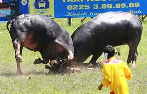 Trâu số 20 vô địch lễ hội chọi trâu Đồ Sơn