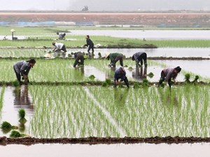 Trên 50% diện tích Trung du và đồng bằng Bắc Bộ đã có nước gieo cấy