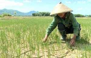 Kon Tum chủ động nhiều phương án cứu lúa