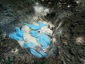 Bình Phước tiêu hủy hơn 3 tấn lợn bị dịch tả lợn châu Phi