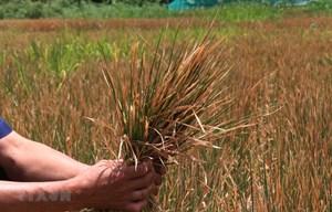 Đắk Lắk: Thiệt hại hơn 1.000 ha cây trồng do hạn hán