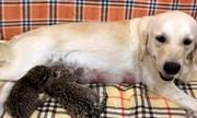 [VIDEO] Chó mẹ chăm sóc đôi báo con bị mẹ ruột bỏ rơi