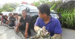 [VIDEO] Chuyên gia bị gẫy ngón tay vì bị con trăn khổng lồ cắn