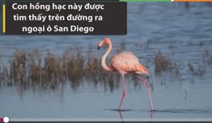 [VIDEO] Kỳ lạ chim hồng hạc xuất hiện giữa TP San Diego