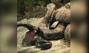 [VIDEO] Lý do một số loài rắn đẻ con thay vì đẻ trứng