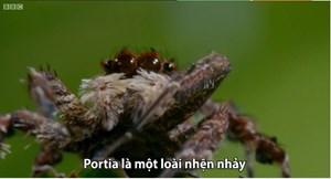 [VIDEO] Màn săn mồi của loài nhện chuyên ăn thịt đồng loại