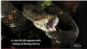 [VIDEO] Nhát cắn tử thần của loài rắn kịch độc