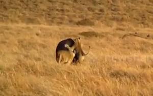 [VIDEO] Sư tử cậy đông tấn công hà mã vẫn thảm bại