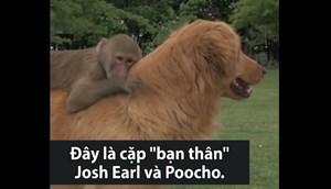 [VIDEO] Tình bạn giữa khỉ đầu chó mồ côi và chó vàng