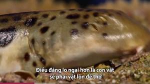 [VIDEO]Loài cá mập duy nhất có thể đi bộ trên cạn để thoát hiểm