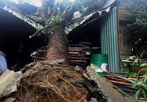 An Giang: Cây đổ đè sập nhà dân khiến hai mẹ con tử vong