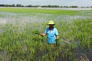 An Giang: Khắc phục sự cố về cống, bảo vệ an toàn cho lúa Thu Đông