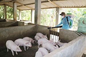 Bắc Kạn: Bùng phát dịch tả lợn châu Phi sau công bố hết dịch
