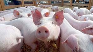Bàn giải pháp đối phó dịch tả lợn châu Phi